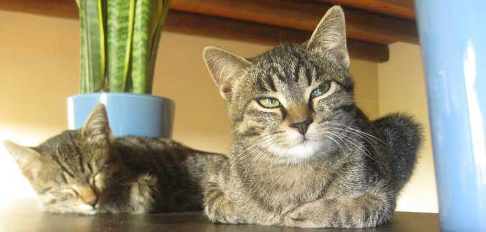 Aceites esenciales Super Seguros para Gatos