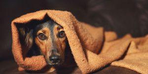 Como Prepara un Spray natural para perros con Ansiedad