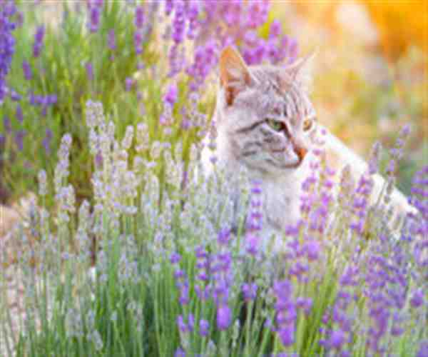 Aceites esenciales para gatos – 11 aceites que puedes aplicarle a tu mascota