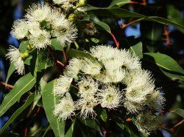 Aceite de eucalipto: aplicaciones para el hogar y la salud