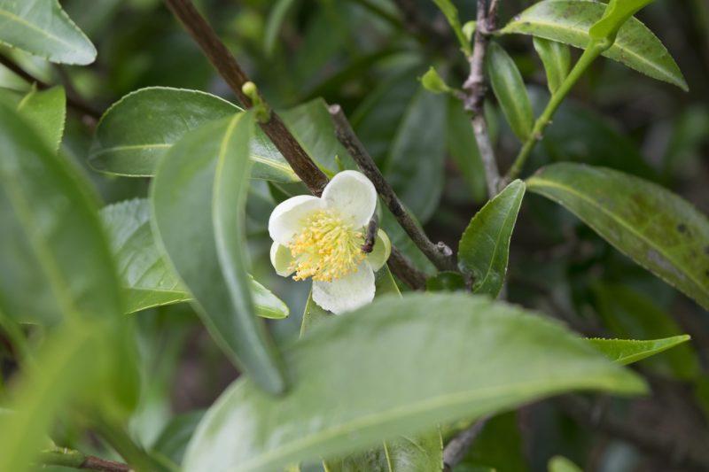 Los mejores usos del Aceite esencial de árbol de té